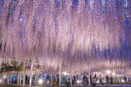 ashikaga flower park flowers golden week
